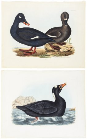 Water Birds From Selby's British Ornithology