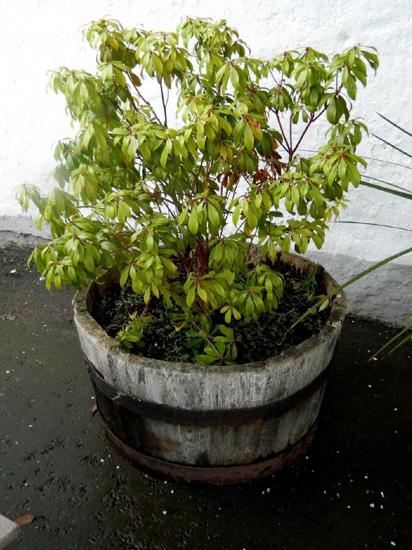 Garden barrel planter including shurb