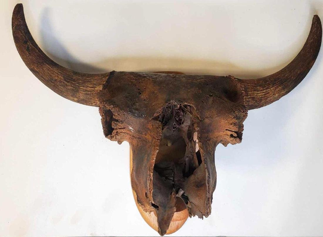 Museum quality fossilized Steppe Bison Skull