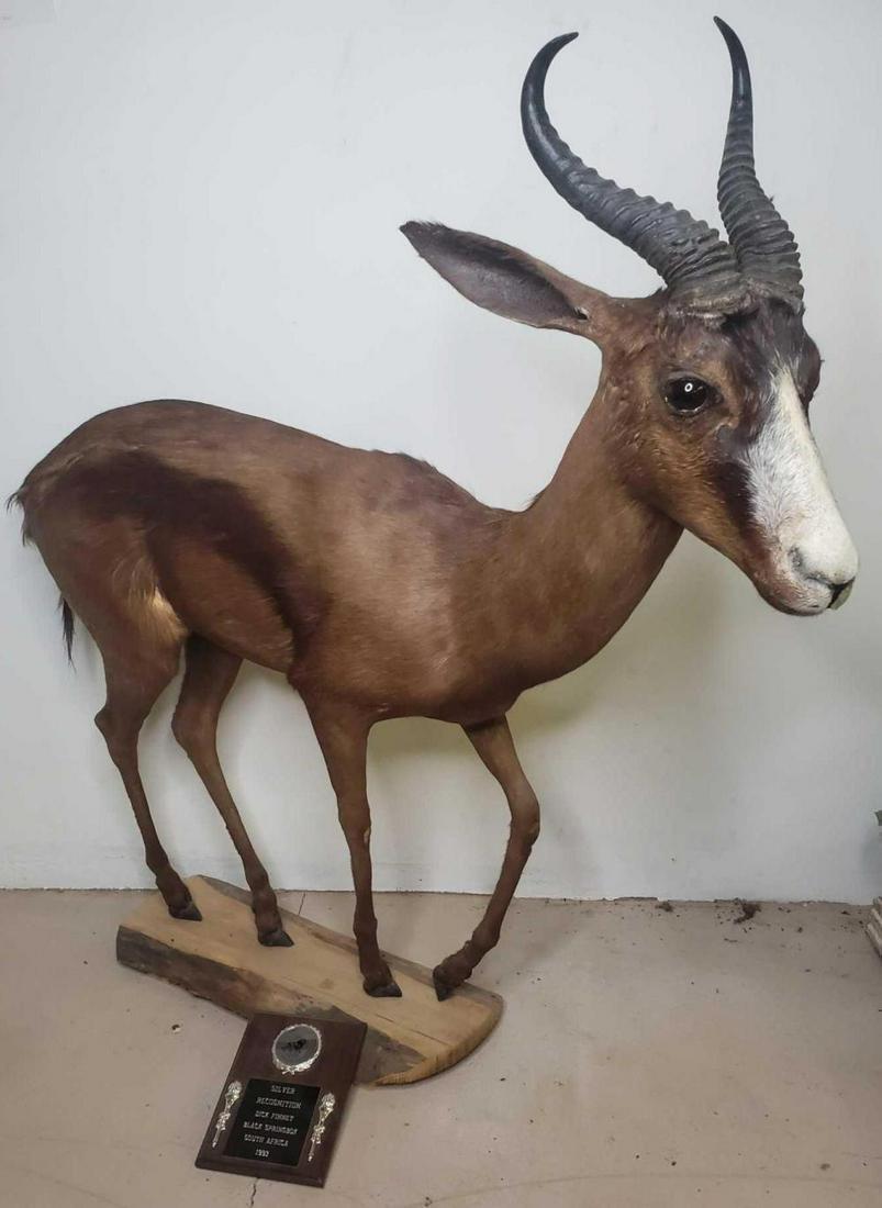 Black Springbok mount, South Africa