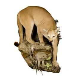 Mountain Lion Life-Size Taxidermy Mount