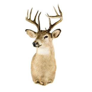 Twelve-Point Whitetail Deer Head Taxidermy Mount