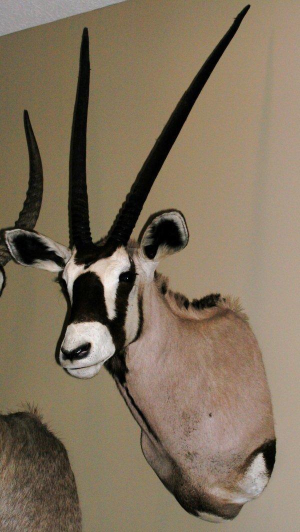 2: African Taxidermy Oryx/Gemsbok shoulder mount,