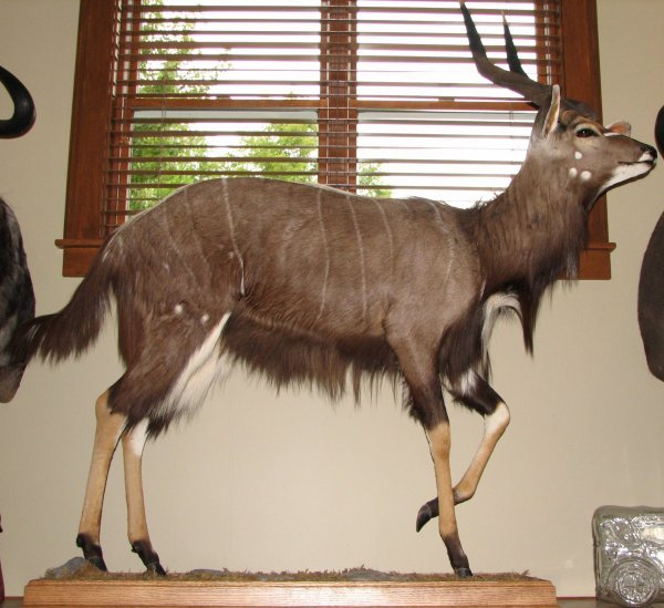 4: African  Taxidermy Nyala life size mount, trophy