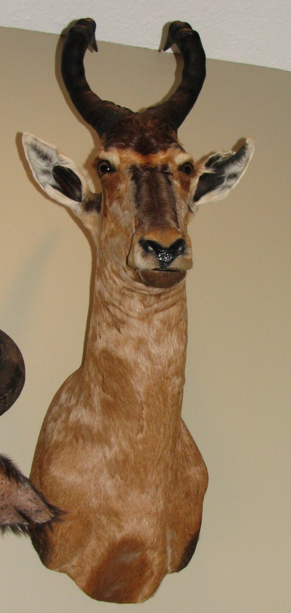 6: African Taxidermy Red Hartebeest, trophy class,