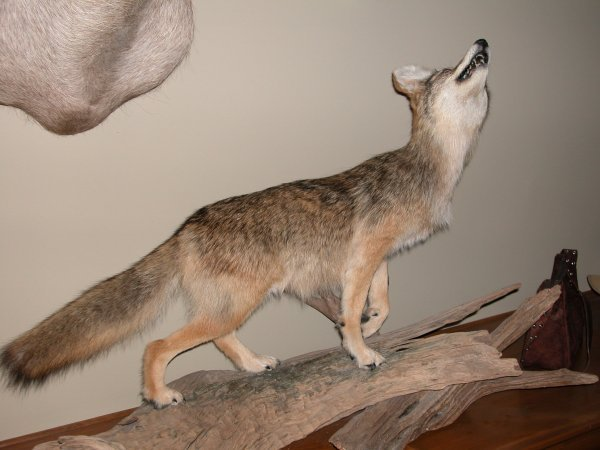 7: North American Taxidermy Coyote, life size
