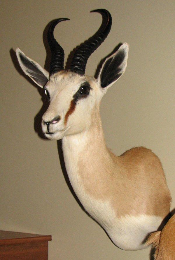 10: African Taxidermy Springbok shoulder mount, trophy