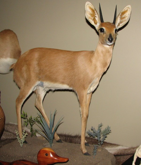 11: African Taxidermy Steinbok life size mount, trophy