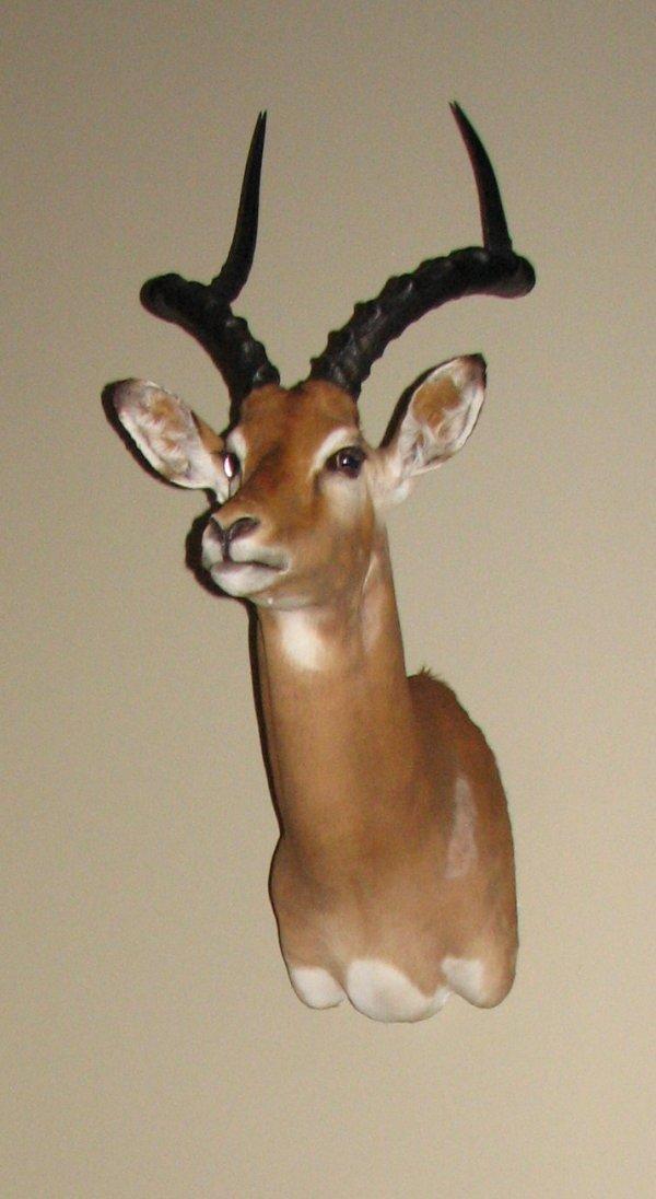 12: African Taxidermy Impala shoulder mount, trophy,