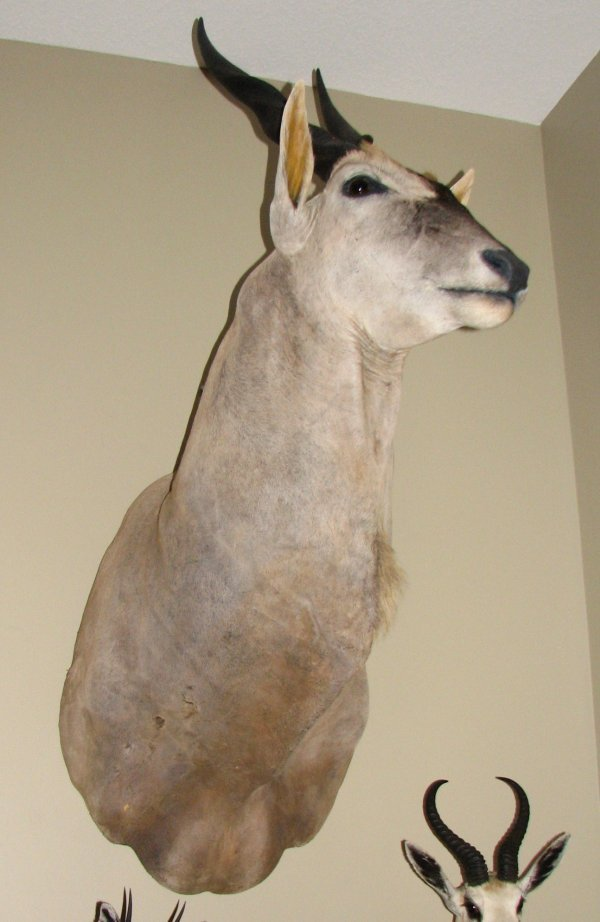 14: African Taxidermy Common Eland shoulder mount,