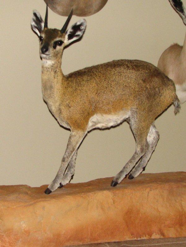 15: African Taxidermy Klipspringer life size mount,