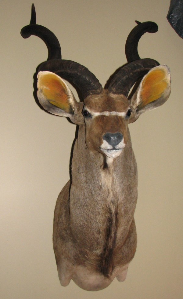 19: African Taxidermy Kudu shoulder mount, trophy
