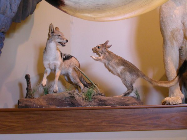 21: African Taxidermy Spring Hare with Silverback