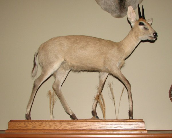 22: African Taxidermy Duiker life size mount, trophy