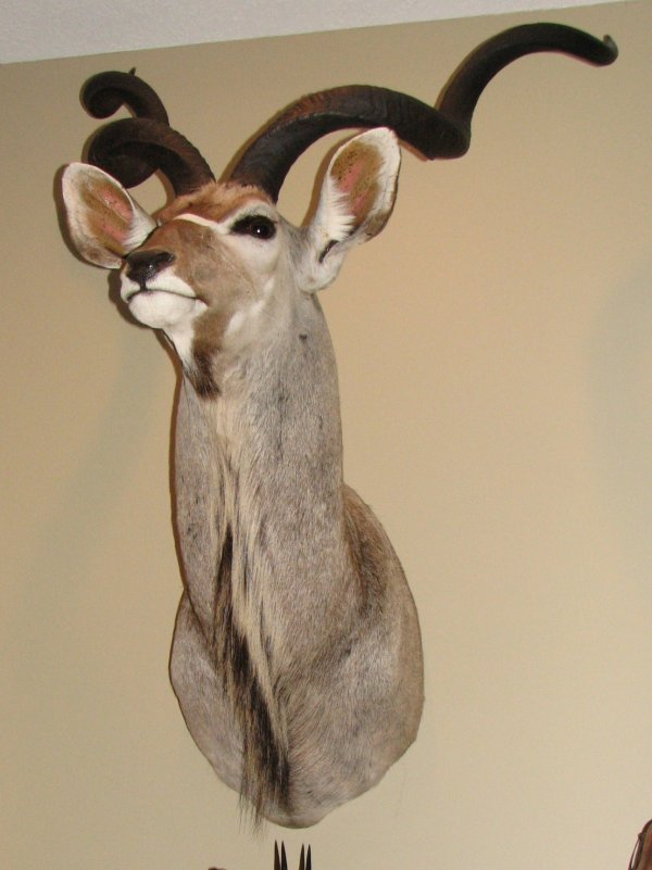 23: African Taxidermy Kudu shoulder mount, trophy