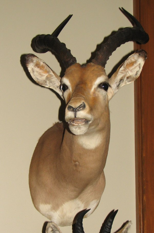 24: African Taxidermy Impala, shoulder mouth