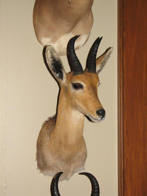 25: African Taxidermy  Mountain Reedbuck shoulder mount