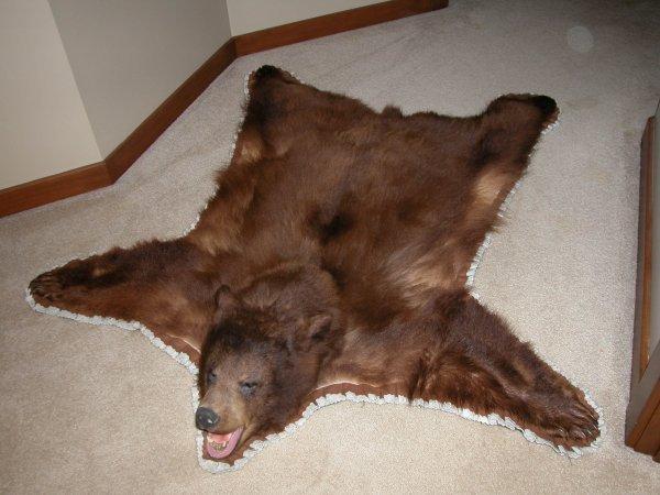 34: North American Taxidermy  Black Bear rug, cinnamon
