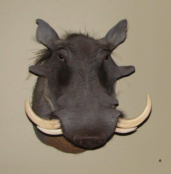 39: African Taxidermy Warthog Boar, shoulder mount