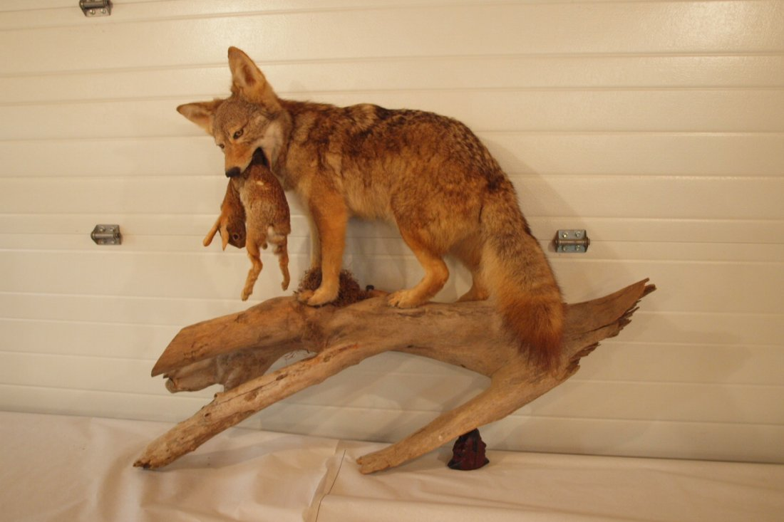 Taxidermy mount of coyote   with rabbit on drift wood,