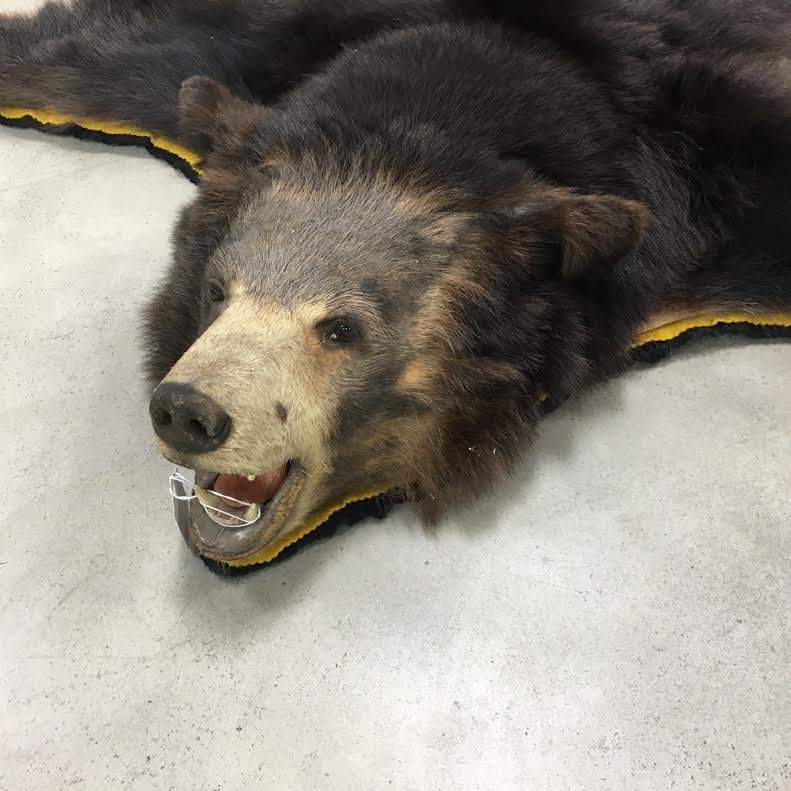 Black bear mounted taxidermy bear rug - 2