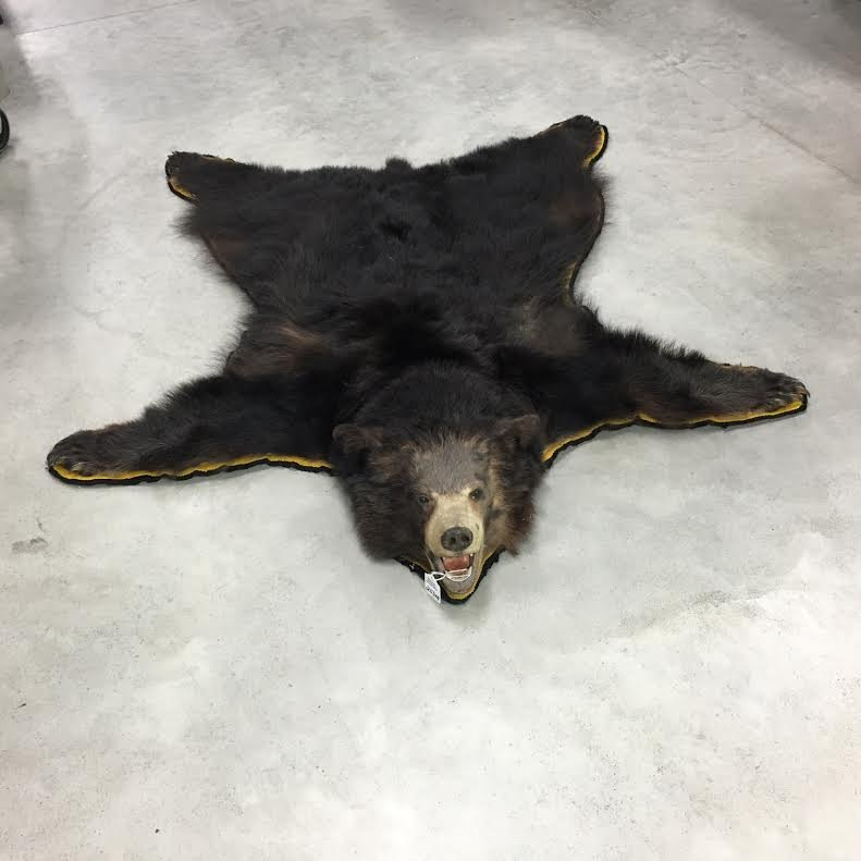 Black bear mounted taxidermy bear rug - 3