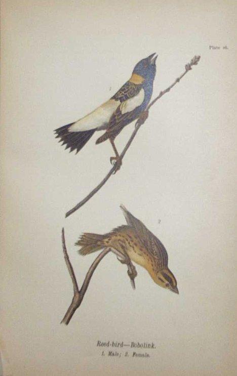 2017: 4 vols. American Ornithology: Forbush, Edward How
