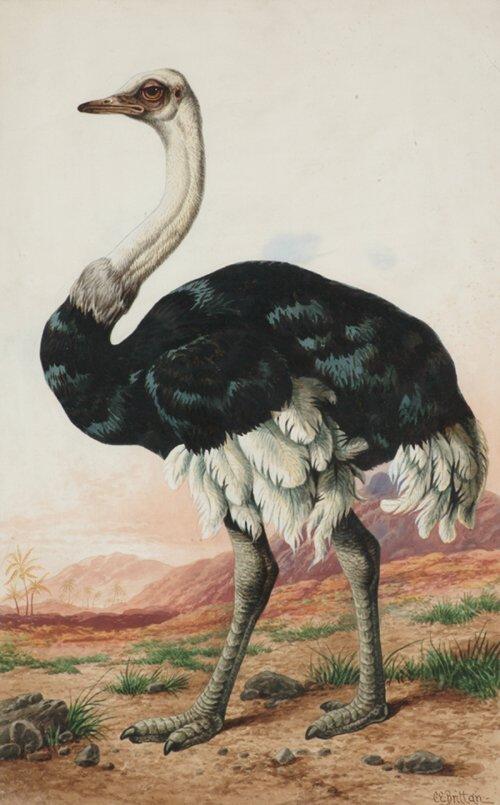 "2T: CHARLES EDWARD BRITTAN, ""Ostrich""  Waterc"