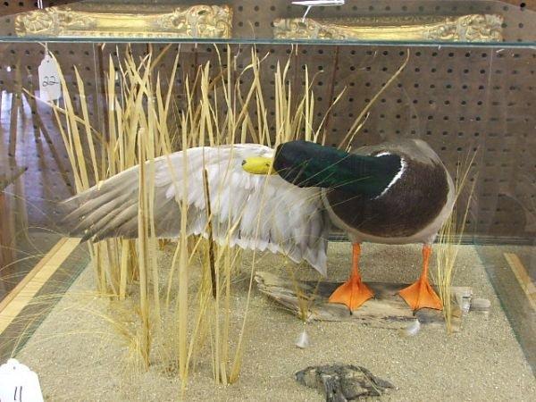 11: Mounted Mallard Duck in glass case