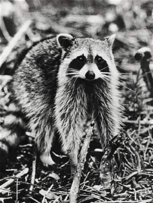 ALFRED EISENSTAEDT, 1960's Cute Raccoon