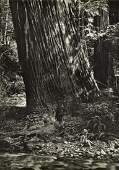 "WYNN BULLOCK, ""Redwood"" 1960's Photogravure"