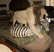 FB AFRICAN LION W/FB ZEBRA (TX RES ONLY)