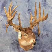 REPRODUCTION WHITETAIL SH MT W/SUPER LARGE HORNS AND