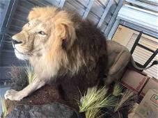 BEAUTIFUL LIFESIZE AFRICAN LION W/HUGE MANE (TX RES)
