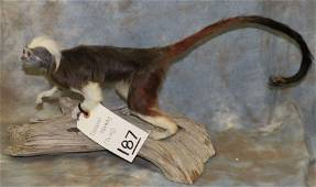 COTTON TOP TAMARIN MONKEY  (TX RES ONLY)  TAXIDERMY