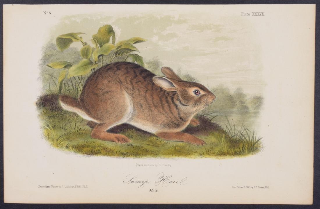 Audubon - Swamp Hare. 37