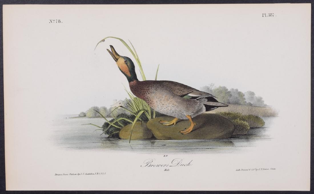 Audubon - Brewers Duck. 387