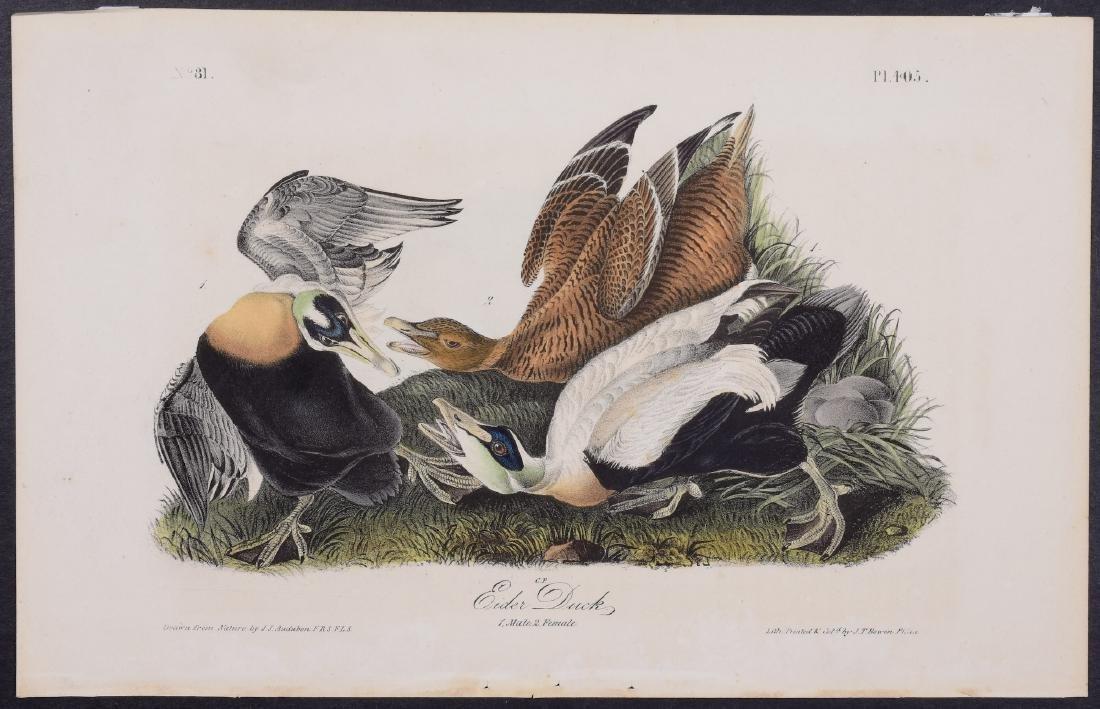 Audubon - Eider Duck. 405