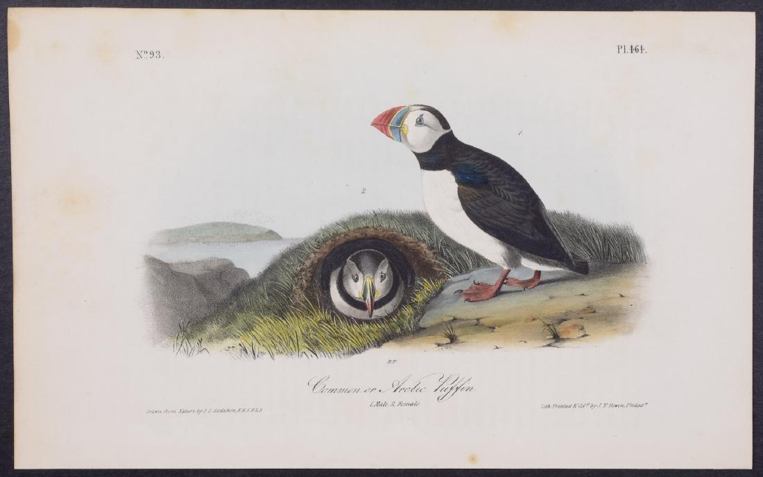 Audubon - Common or Arctic Puffin. 464
