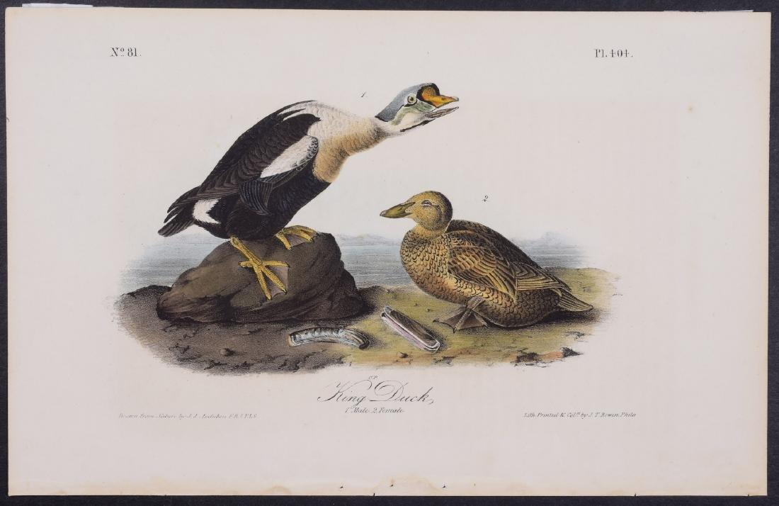 Audubon - King Duck. 404