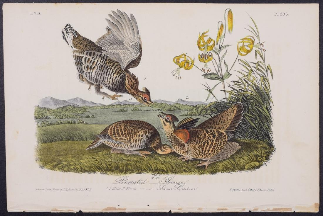 Audubon - Pinnated Grouse. 296