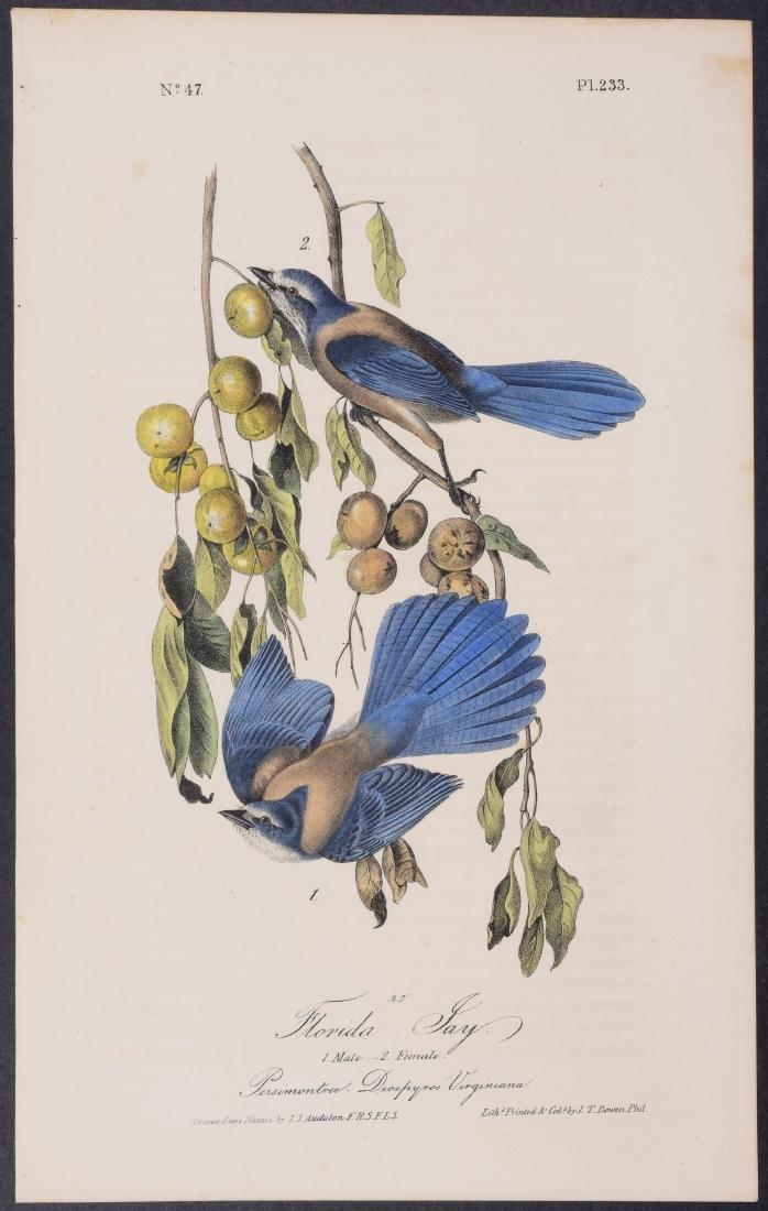Audubon - Florida Jay. 233