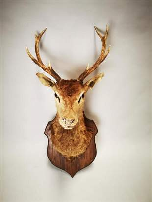 Late 19th C. taxidermy Stag's head.