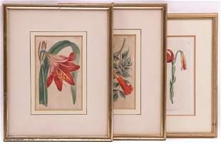 Three Engravings Curtiss Botanical Magazine