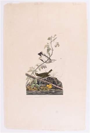Audubon Engraving, Golden-Crowned Thrush