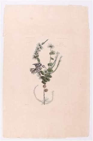 Audubon, Engraving, Black and White Creeper