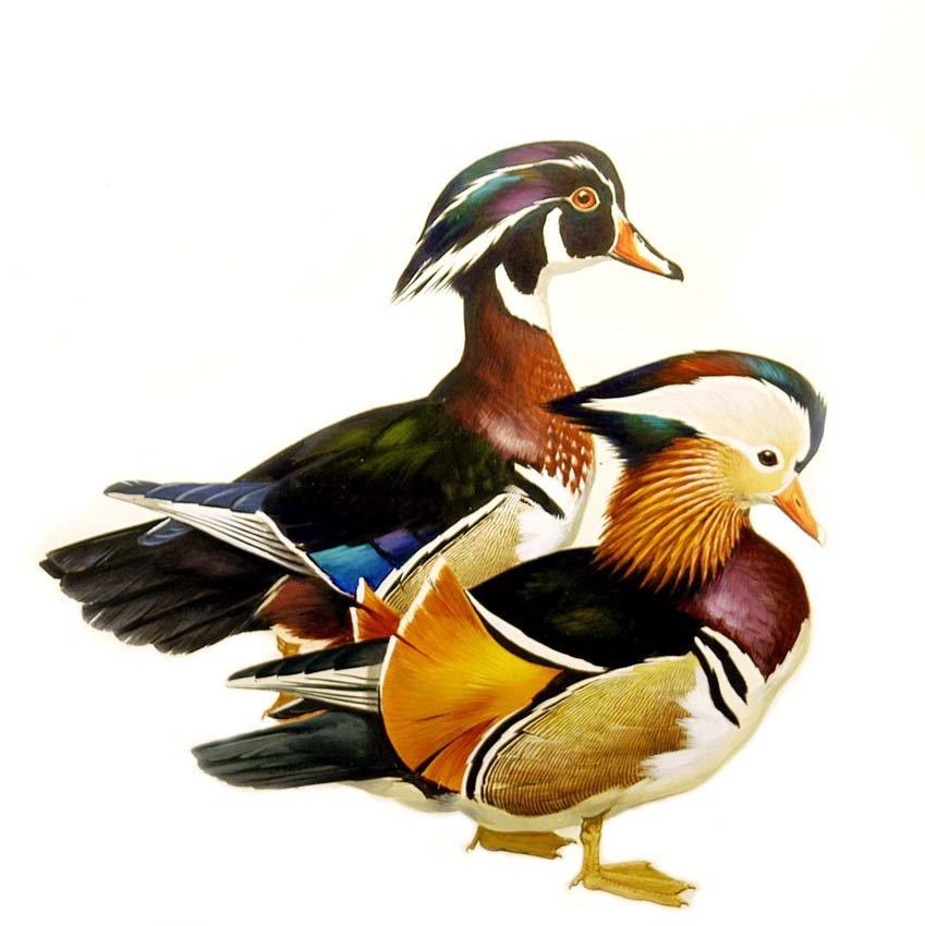 1: Two Ducks