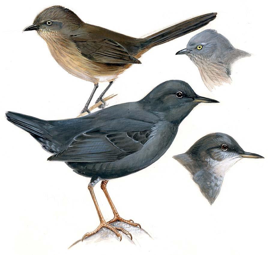 3: Wrens, Wrentit