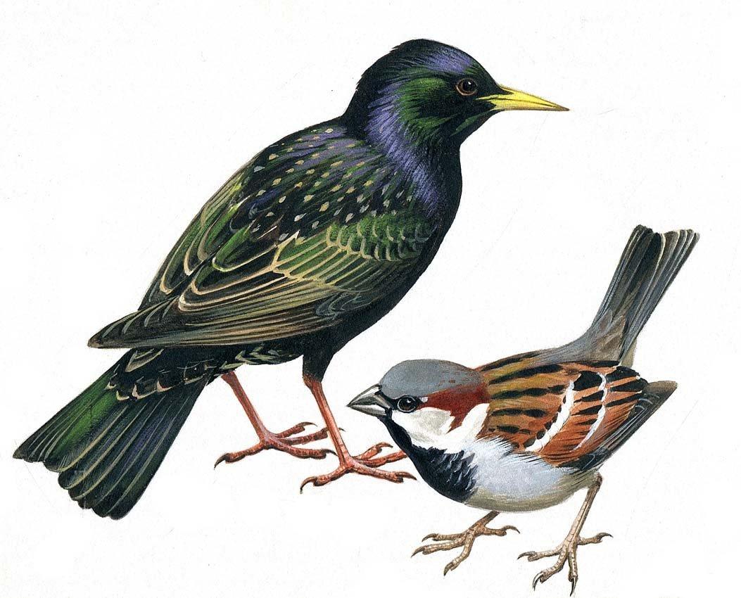 4: Starling & English Sparrow