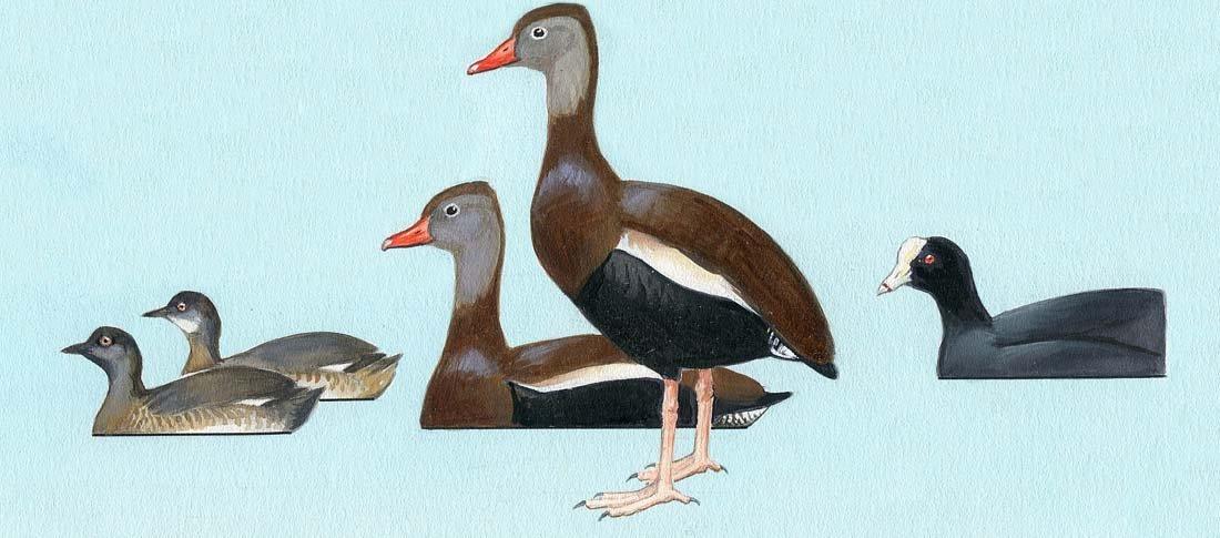 5: Gulls, Terns